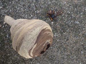 とっくり型のスズメバチの巣を物置の棚で発見!