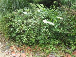 アシナガバチの巣が庭木に 福島県伊達郡、2011年.jpg