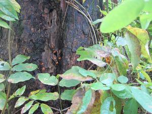 オオスズメバチがニホンミツバチの巣への出入り 会津、10月下旬.jpg