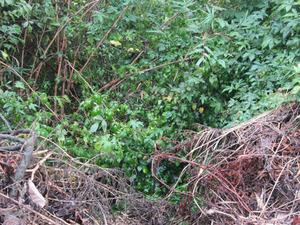 オオスズメバチが崖の藪ですばしっこく飛び回る 福島県石川郡、10 月下旬.jpg