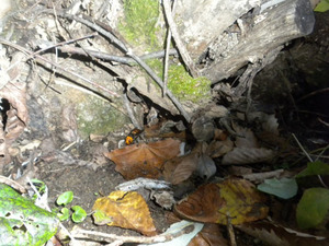 オオスズメバチが巣への出入り口付近でウロウロ 福島県裏磐梯、10月下旬.jpg