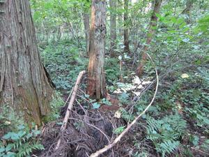 オオスズメバチの巣が登山道のスギの根元に 会津、10月中旬.jpg