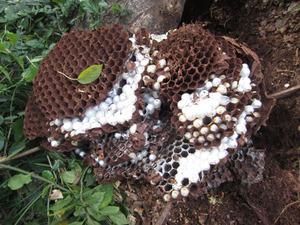 オオスズメバチの巣の全貌 会津、10月中旬.jpg