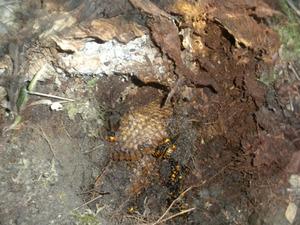 オオスズメバチの巣の出入り口を掘ると巣盤が出現 田村市、10月下旬.jpg