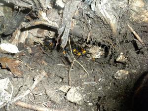オオスズメバチの巣は切り株の根圏に 福島県裏磐梯、10月下旬.jpg