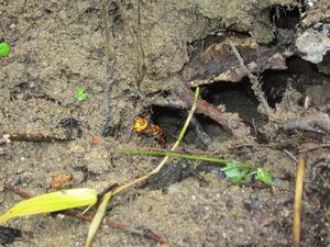 オオスズメバチの巣内への出入口 福島県石川郡、10 月下旬.jpg