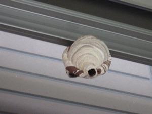カーポートの天井にあるコガタスズメバチのこぶし大の巣(福島市).jpg