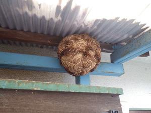 キイロスズメバチがベランダ天井に巣を作る(いわき市、2013年7月26日).jpg