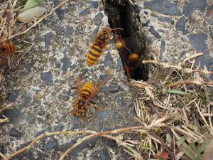 キイロスズメバチが側溝の隙間から出入り 福島県西白河郡、10 月下旬.jpg
