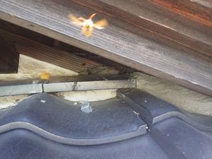 キイロスズメバチが出入りする瓦屋根と軒裏天井との接点部分のすき間(白河市).jpg