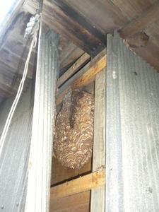 キイロスズメバチが壁内に作った直径27cmの巣(福島県石川郡、2010年10月中旬).jpg