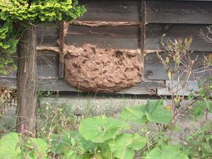 キイロスズメバチが板塀内部の巣に節穴から出入り 田村市、10月中旬.jpg