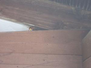 キイロスズメバチが隙間から出入りする様子 会津、7月下旬