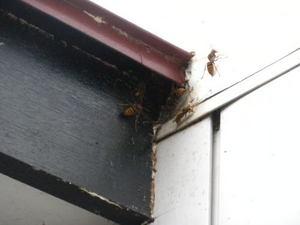 キイロスズメバチが隙間穴からゾロゾロ(郡山市、2010年10月上旬).jpg