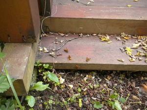 キイロスズメバチたちが階段と地面の隙間から出入り(福島県西白河郡、2010年10月中旬).jpg