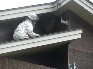 キイロスズメバチのでかい巣を駆除している様子 福島県耶麻郡、10月上旬.jpg