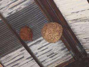 キイロスズメバチの去年の巣と今年の巣が2個並ぶ倉庫の天井(本宮市).jpg