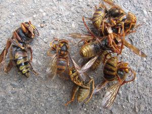 キイロスズメバチの女王蜂(左)と働き蜂たち(右)いわき市、7月下旬