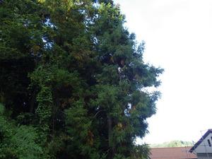 キイロスズメバチの巣があった杉の木(福島県).jpg
