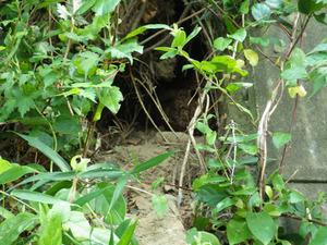 キイロスズメバチの巣が土手にあいた穴の中に見える(郡山市).jpg