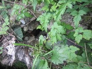 キイロスズメバチの巣が崖の空洞に 2011年.jpg