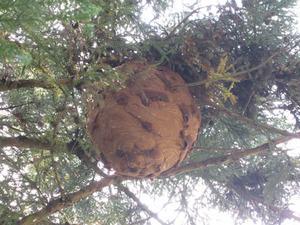 キイロスズメバチの巣が道路真上のスギの枝葉に いわき市、9月下旬.jpg