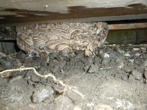 キイロスズメバチの巣が階段の奥の方に(福島県西白河郡、2010年10月中旬).jpg