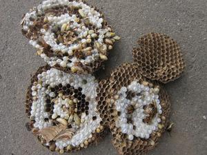 キイロスズメバチの巣の巣盤は4段 いわき市、7月下旬