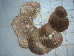 キイロスズメバチの巣の巣盤は7段(福島県西白河郡、2010年10月下旬).jpg