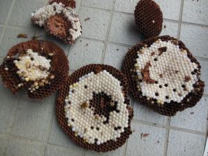 キイロスズメバチの巣は、直径26�pの引っ越し巣 喜多方市、7月下旬