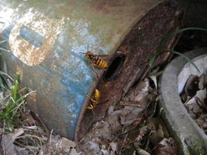 キイロスズメバチの巣は地面にある空き缶の中(郡山市、2010年10月中旬).jpg