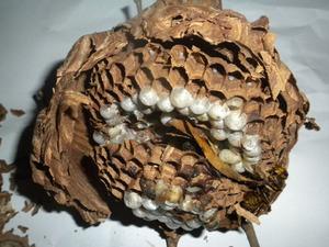 キイロスズメバチの巣は直径12cm、巣盤2段 福島県石川郡、7月中旬.jpg