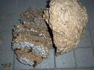 キイロスズメバチの巣は直径28cm(須賀川市、2010年10月中旬).jpg