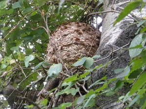 キイロスズメバチの巣は直径32cm(福島県西白河郡、2010年10月下旬).jpg