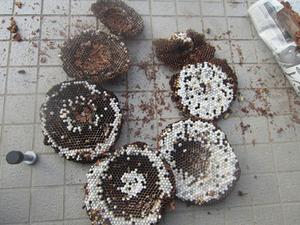 キイロスズメバチの巣は直径35cm、巣盤7段 いわき市、9月下旬.jpg