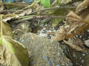 キイロスズメバチの母巣がある石垣のひび割れたすき間(福島県郡山市).jpg