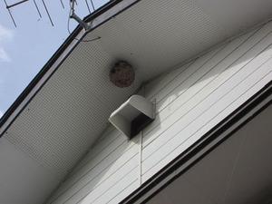 キイロスズメバチの軒下に作った引っ越し巣 喜多方市、10月下旬.jpg