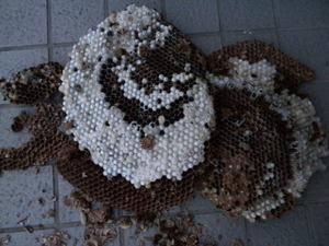 キイロスズメバチは長径36cm、巣盤3段(郡山市、2010年10月上旬).jpg