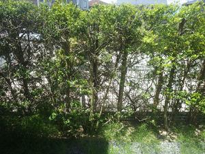 クマバチの巣があった庭の垣根のイヌツギ(郡山市).jpg