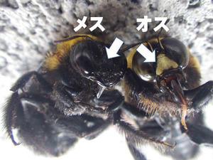 クマバチ成虫のオスとメスを見分けるポイント部分.jpg