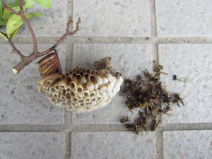 コアシアシナガバチとその巣 福島県伊達郡、2011年.jpg