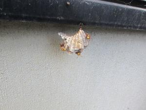 コアシナガバチの巣に近づくと、こちらを睨むように威嚇 福島市、7月下旬