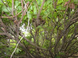 コガタスズメバチがツツジの樹内に作った巣