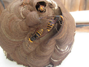 コガタスズメバチが壁に作った巣の様子 福島県河沼郡、7月中旬