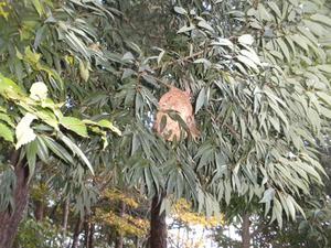 コガタスズメバチが枝葉に隠れるように巣を作る 福島市、10 月下旬.jpg