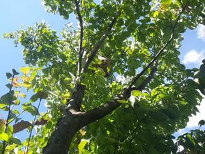 コガタスズメバチが高さ4m程の庭木に巣を作る(郡山市、2013年9月28日).jpg