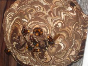 コガタスズメバチたちが巣上に群がって励む巣作り 西白河郡、9月上旬.jpg