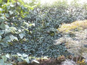 コガタスズメバチの壊れた巣があった生垣(福島県伊達郡、2010年9月下旬).jpg