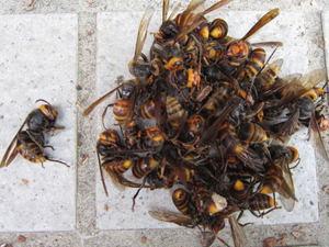 コガタスズメバチの女王蜂と働き蜂 福島市、2011年.jpg