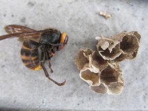 コガタスズメバチの女王蜂と巣盤 郡山市、2012年.jpg